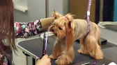 alergia : Close-up doctor veterinary clinic cuts scissors Yorkshire Terrier. Close-up of professional groomer combing little Yorkshire Terrier. Little yorkshire terrier in grooming salon getting haircut. Archivo de Video