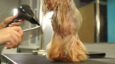 kadeřník : A female groomer cuts the Yorkshire Terrier and dries her hair with a hair dryer on a grooming table in a beauty salon for dogs. Slow motion. Hairdresser for animals. Dostupné videozáznamy