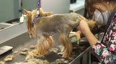 kadeřník : Close-up of a woman trimming a small Yorkshire Terrier with an electric hair clipper. Cutting hair in the dog hairdresser Yorkshire Terrier. Hairdresser for animals.