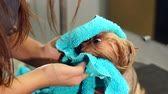 kadeřník : Close-up of a female veterinarian wiping a wet Yorkshire Terrier at a veterinary clinic. Preparing the dog for a haircut.