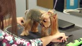 kadeřník : Close-up of a veterinarian combing hair on paws of a Yorkshire terrier, slow motion. Close-up of professional groomer combing little Yorkshire terrier.