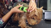 alergia : Little yorkshire terrier in grooming salon getting haircut. Yorkshire Terrier sitting on the table in vet clinic. Professional groomer trimming a yorkshire terrier with a hair clipper in a vet clinic.
