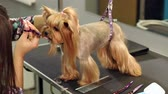 cabeleireiro : Close-up doctor veterinary clinic cuts scissors Yorkshire Terrier. Close-up of professional groomer combing little Yorkshire Terrier. Little yorkshire terrier in grooming salon getting haircut.Slow mo Vídeos