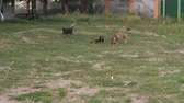 směšný : A pack of stray dogs running on the grass in the Park among the trees, one dog chews bone. Slow motion. Dostupné videozáznamy