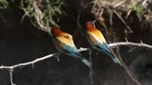 wegry : pair of bee-eaters, one flyes away