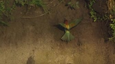wegry : Bee-eater sitting and flying in front of sand wall Wideo
