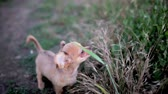 bloom : Small puppy of chihuahua for the first time on the field
