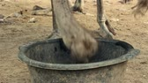struś : ostriches on a farm drinking water