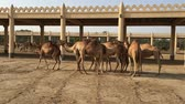 camel : A herd of camels on the farm.