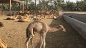 caravan of camels : A herd of camels on the farm.