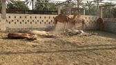 feno : A herd of camels on the farm.