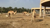 caravan of camels : A camel on the farm. Stock Footage