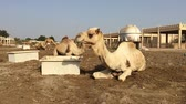 caravan of camels : the camel on the farm eats hay Stock Footage