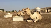 camel : the camel on the farm eats hay Stock Footage
