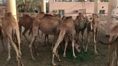 caravan of camels : A herd of camels on the farm. Feeding.