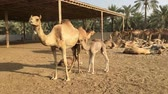 caravan of camels : A small camel drinks mothers milk. Camel farm in Bahrain.