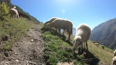 pasturage : Sheep on the mountains. Italian Alps. Gran Paradiso National Park Stock Footage