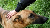 овчарка : Womans hand stroking shepherd in the yard slow motion
