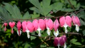 maiô : Bleeding heart on a sunny day in springtime. Stock Footage