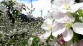 Video of apple blossoms in April in Trentino, Italy Wideo