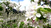 beslenme : Video of apple blossoms in April in Trentino, Italy Stok Video