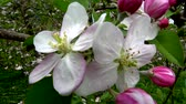 Video of apple blossoms in April in Trentino, Italy Stock Footage