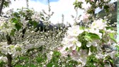 virágzik : Video of apple blossoms in April in Trentino, Italy Stock mozgókép