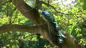 резиденция : Indian peacock in a garden Стоковые видеозаписи
