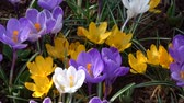 bahçe : Crocus is a genus of flowering plants in the iris family.