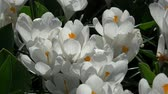 조리개 : Crocus is a genus of flowering plants in the iris family.