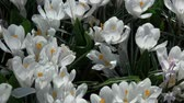 německo : Crocus is a genus of flowering plants in the iris family.