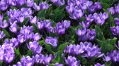 florescer : Crocus is a genus of flowering plants in the iris family.