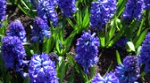 april : Hyacinthus is a small genus of bulbous, fragrant flowering plants in the Asparagaceae family. Stock Footage