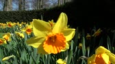 narcissus : Narcissus pseudonarcissus, meaning wild daffodil or lent lily, is a perennial flowering plant. Stock Footage