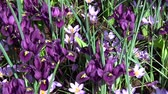hollanda : Crocus is a genus of flowering plants in the iris family.