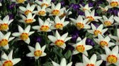 liliales : Tulips form a genus of spring-blooming perennial herbaceous bulbiferous geophytes. Stock Footage