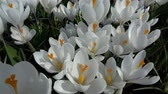 liget : Crocus is a genus of flowering plants in the iris family.
