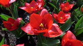 maiô : Tulips form a genus of spring-blooming perennial herbaceous bulbiferous geophytes. Stock Footage