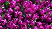 Tulips form a genus of spring-blooming perennial herbaceous bulbiferous geophytes. Wideo