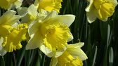april : Narcissus pseudonarcissus, meaning wild daffodil or lent lily, is a perennial flowering plant. Stock Footage