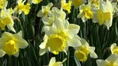水仙 : Narcissus pseudonarcissus, meaning wild daffodil or lent lily, is a perennial flowering plant. 動画素材