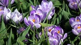 Crocus is a genus of flowering plants in the iris family.