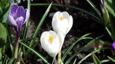 gardens : Crocus is a genus of flowering plants in the iris family.