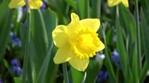 virágzik : Narcissus pseudonarcissus, meaning wild daffodil or lent lily, is a perennial flowering plant. Stock mozgókép