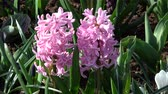 soğanlı : Hyacinthus is a small genus of bulbous, fragrant flowering plants in the Asparagaceae family. Stok Video