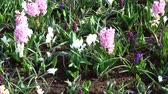 gardens : Hyacinthus is a small genus of bulbous, fragrant flowering plants in the Asparagaceae family. Stock Footage