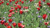 april : Tulips form a genus of spring-blooming perennial herbaceous bulbiferous geophytes. Stock Footage