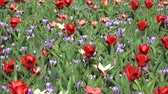 bahçe : Tulips form a genus of spring-blooming perennial herbaceous bulbiferous geophytes. Stok Video