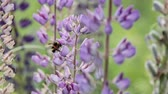 lupine : Lupin and bee drink nectar