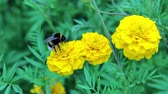 bloom : bee bumblebee drink nectar on tagetes marigolds flowers Stock Footage